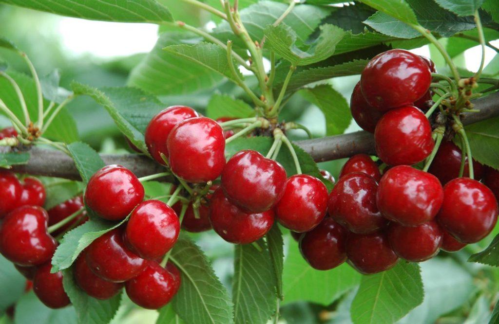 Tại sao nên ăn quả cherry dù chúng rất đắt đỏ