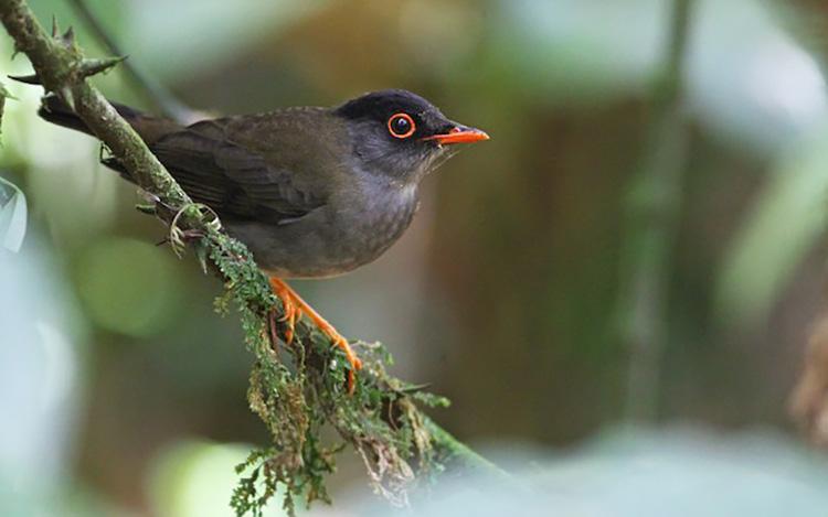 Tổng hợp những hình ảnh chim Họa Mi đẹp nhất
