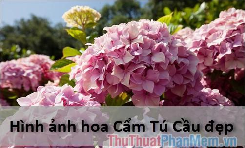 Hoa Cẩm Tú Cầu - Tổng hợp hình ảnh hoa Cẩm Tú Cầu cực đẹp