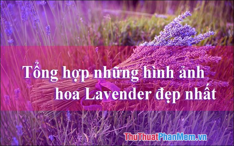 Hoa Lavender đẹp - Tổng hợp những hình ảnh hoa Lavender đẹp nhất
