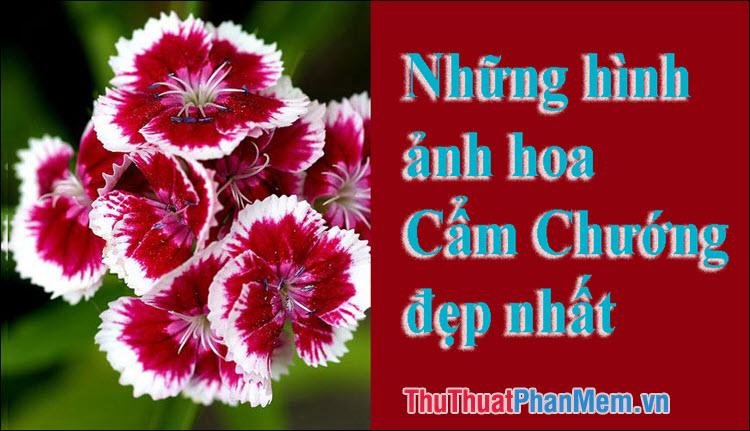 Hoa Cẩm Chướng đẹp - Những hình ảnh hoa Cẩm Chướng đẹp nhất