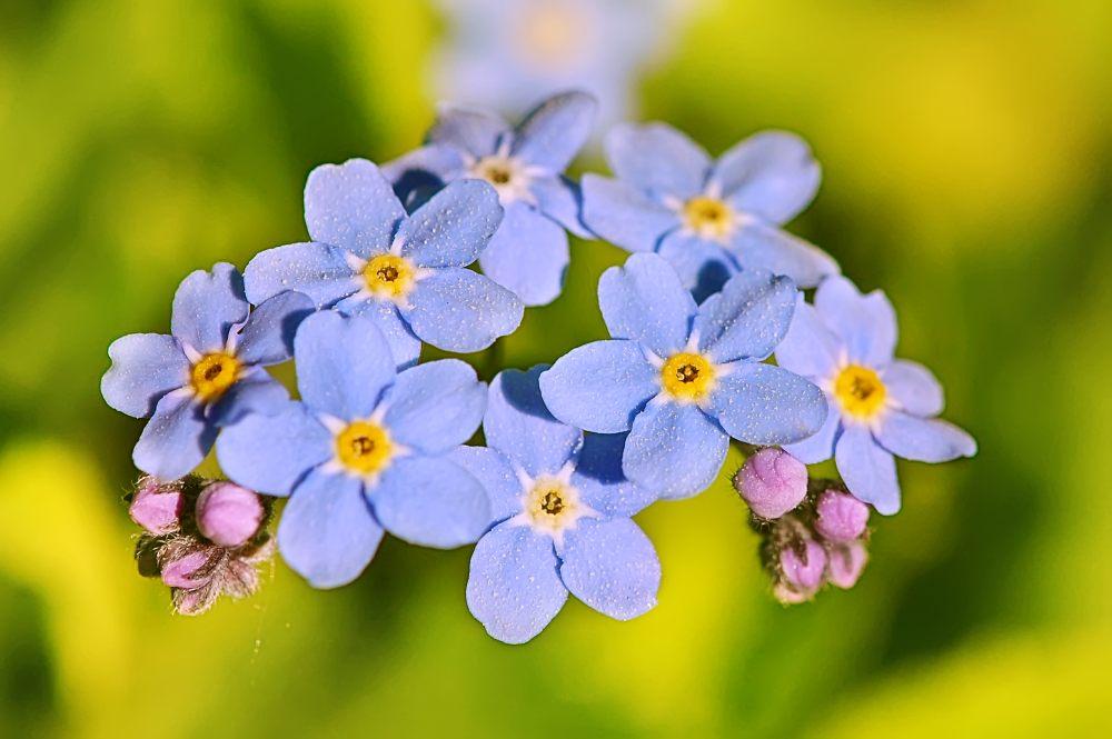 Ảnh cây hoa lưu ly đẹp