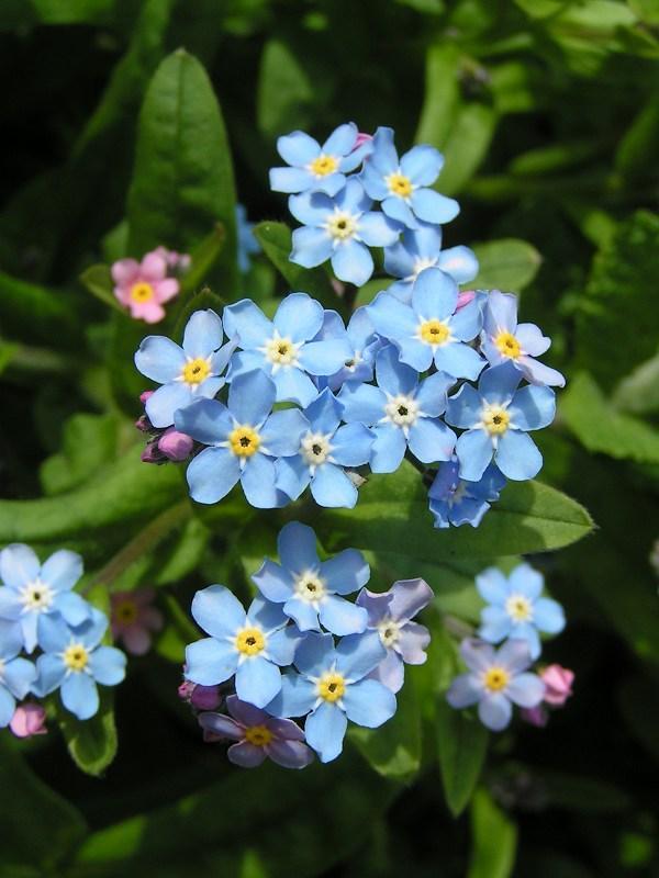 Hình ảnh bông hoa lưu ly đẹp