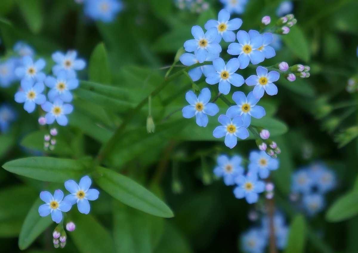 Hình ảnh cây hoa lưu ly đẹp nhất
