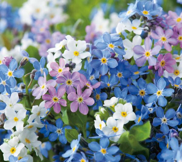 Hình ảnh cây hoa lưu ly đẹp