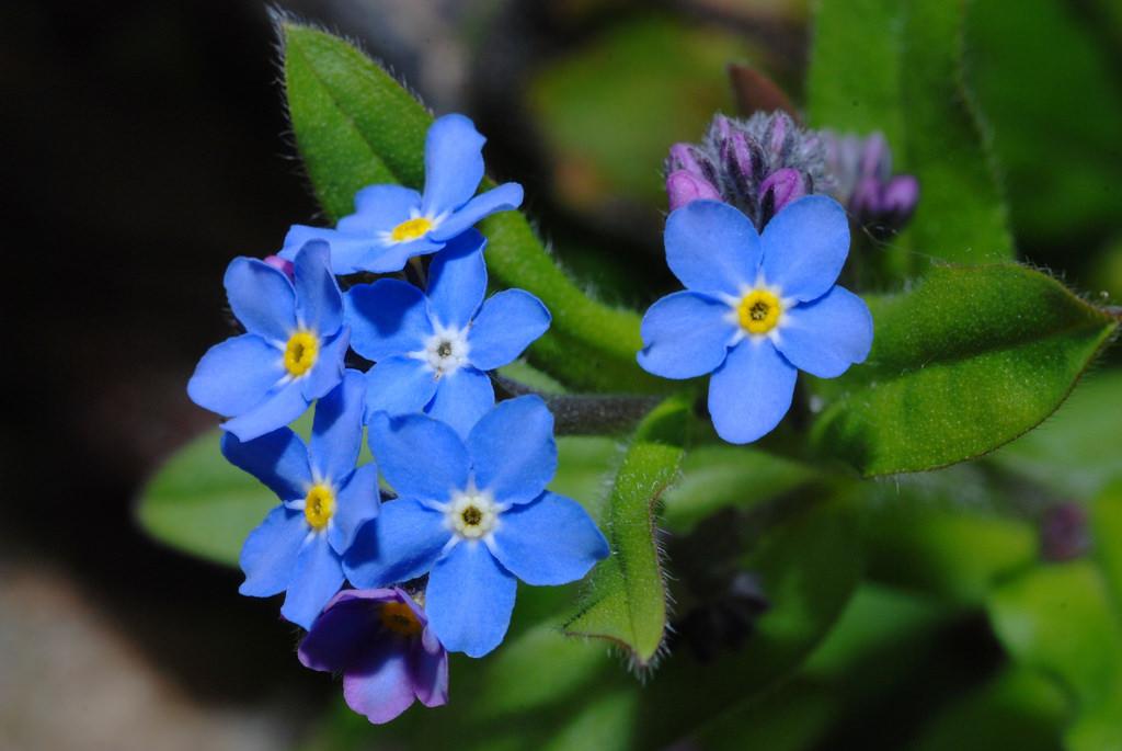 Hình ảnh cây hoa lưu ly