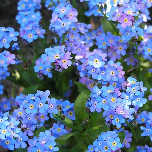 Hình ảnh đẹp của hoa lưu ly