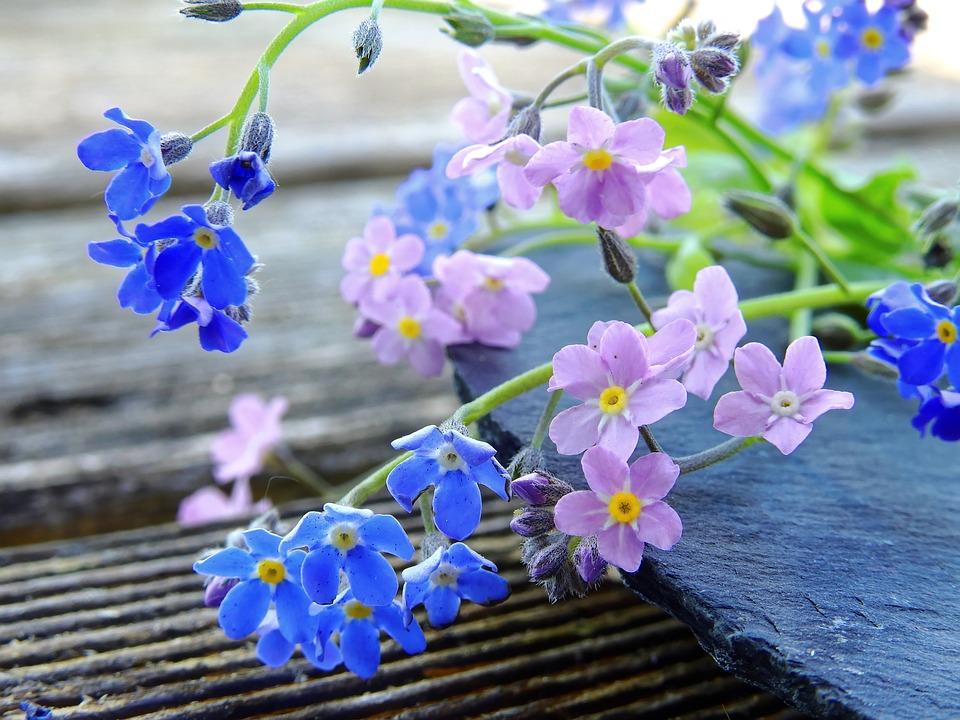 Hình ảnh đẹp về hoa lưu ly