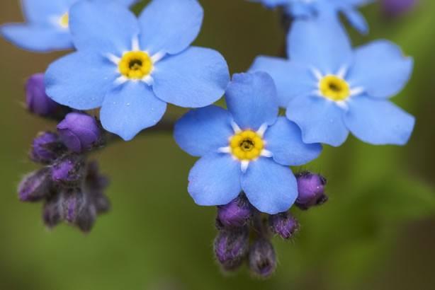 Hình ảnh hoa lưu li đẹp