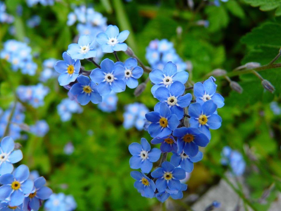Hình ảnh hoa Lưu Ly cực đẹp