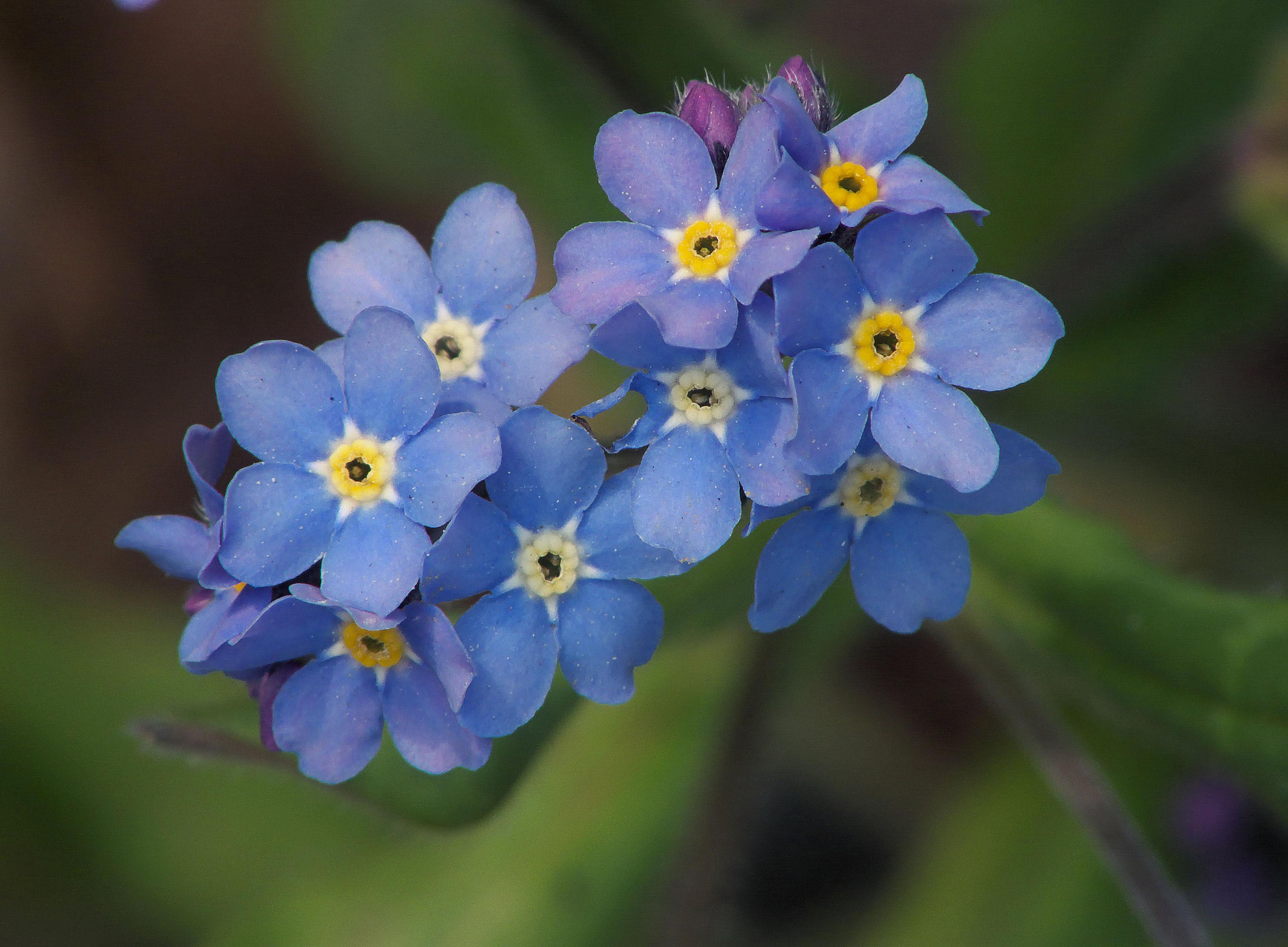 Hình ảnh hoa Lưu Ly đẹp nhất