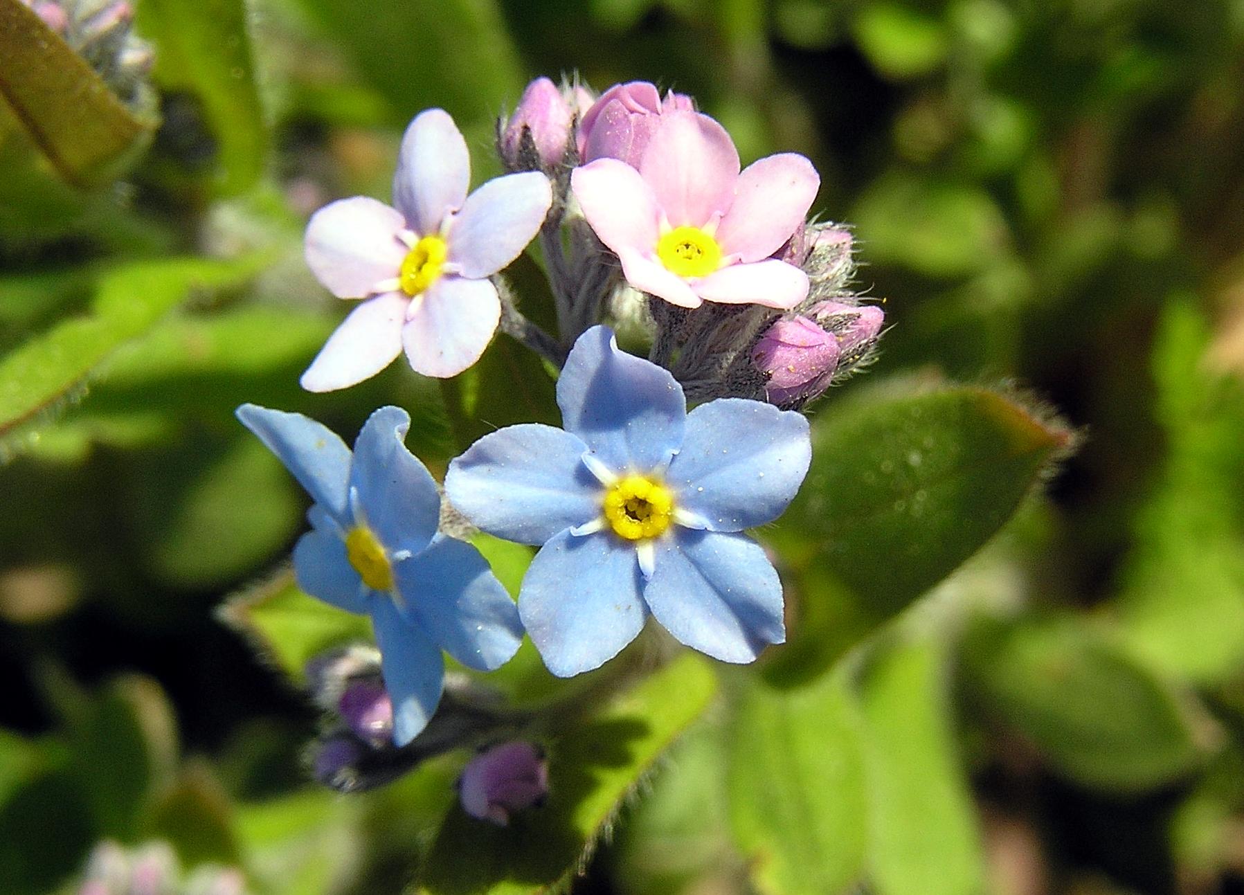 Hình ảnh hoa Lưu Ly đẹp