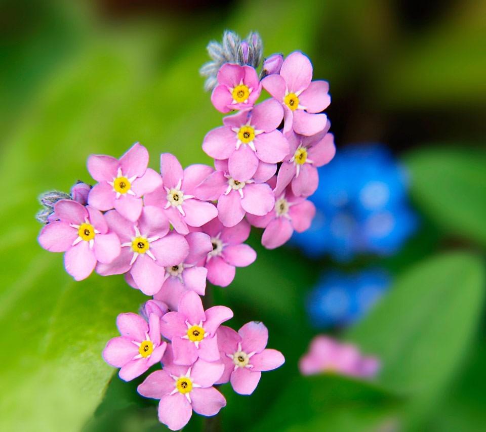 Hình ảnh hoa Lưu Ly tím