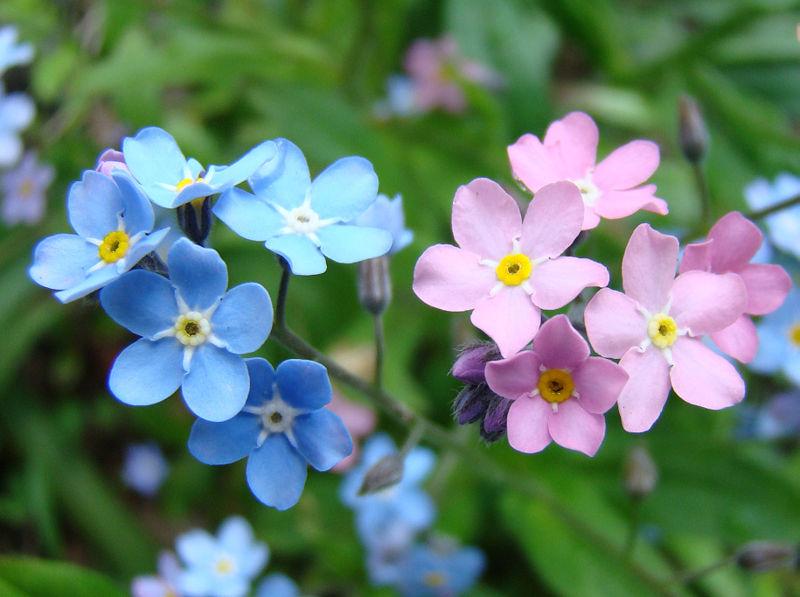 Hình ảnh hoa Lưu Ly tuyệt đẹp