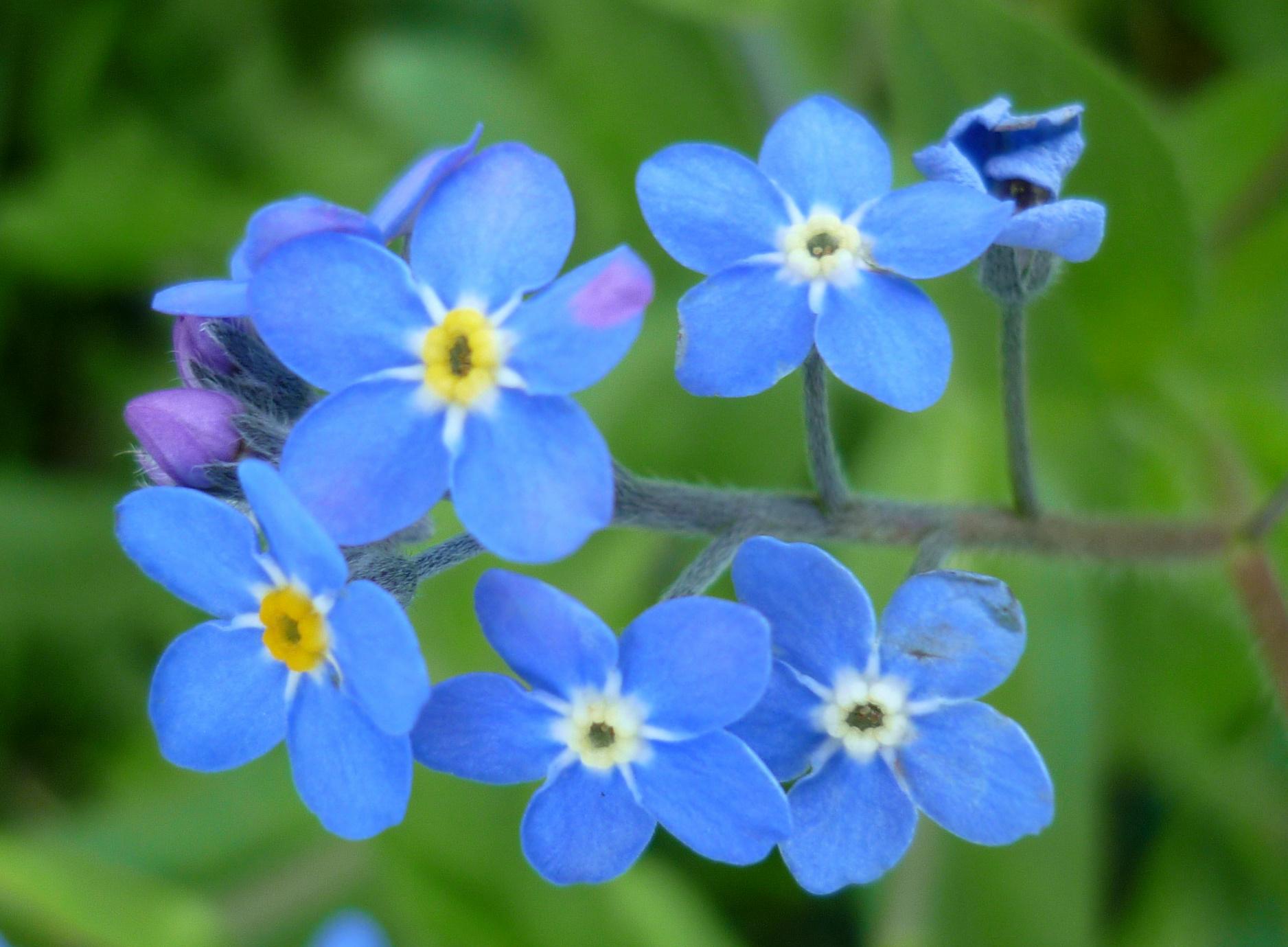 Hình ảnh hoa Lưu Ly xanh đẹp
