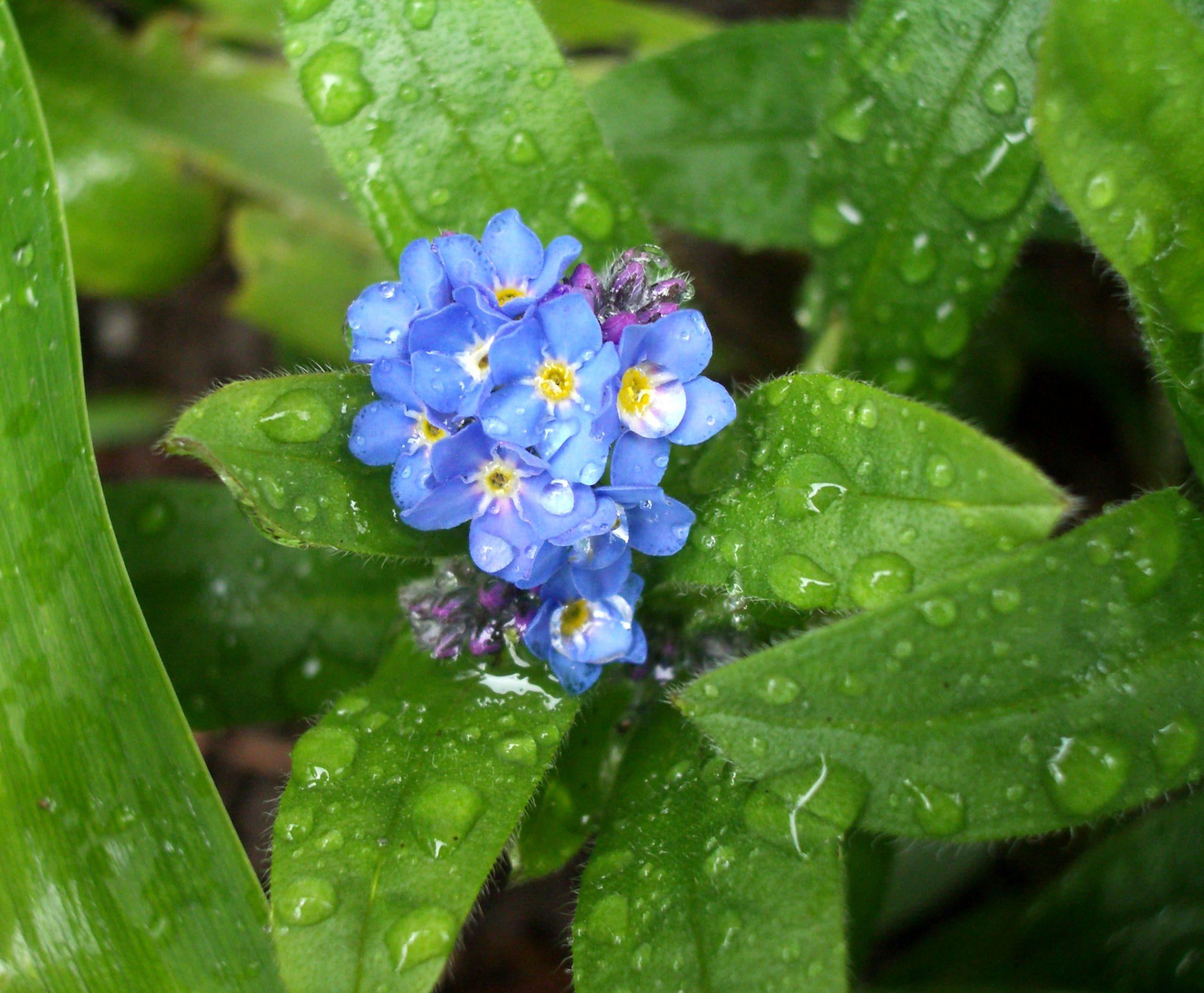 Hình ảnh hoa Lưu Ly xanh