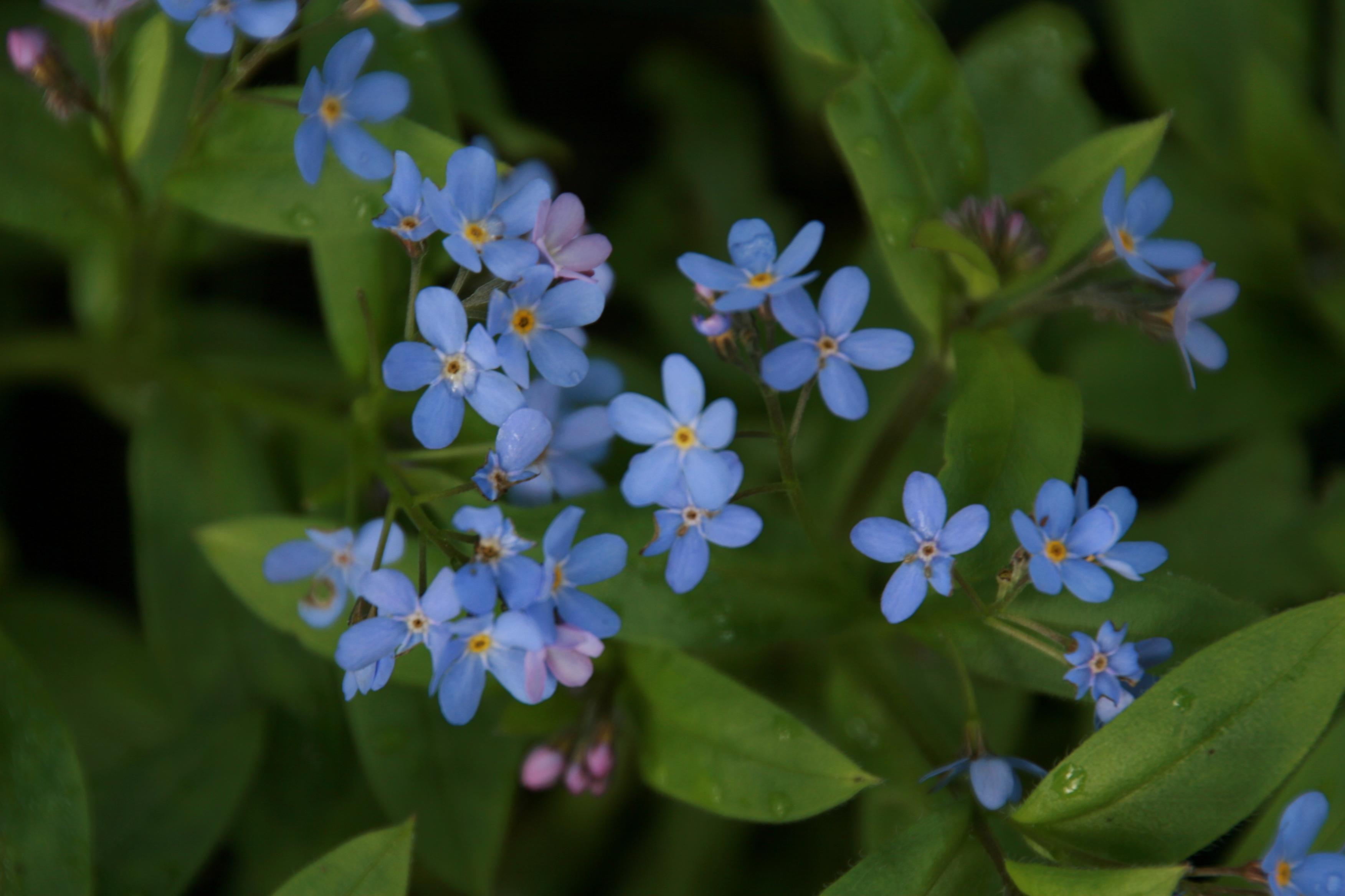 Hình ảnh hoa Lưu Ly