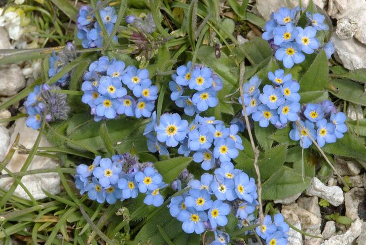 Hình ảnh những bông hoa Lưu Ly đẹp