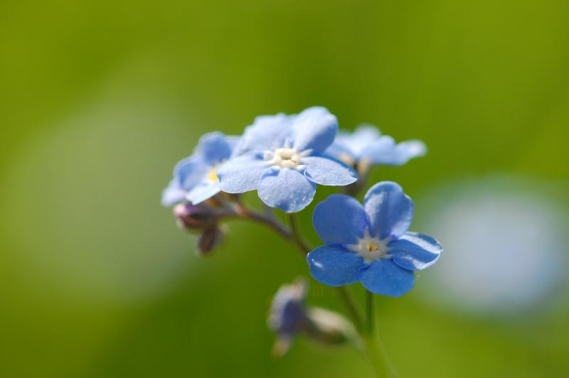 Hình ảnh về hoa forget me not