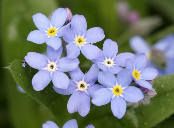 Hình cây hoa lưu ly đẹp