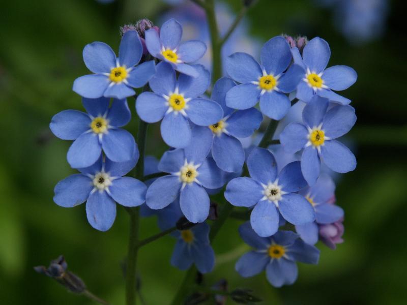 Hình hoa lưu li đẹp