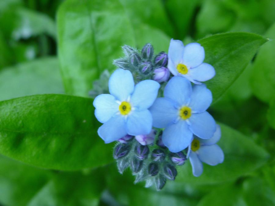 Hình hoa lưu ly đẹp