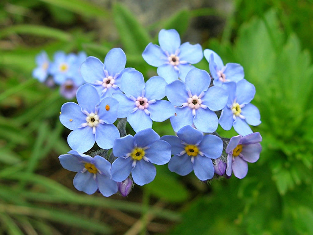 Hoa forget me not