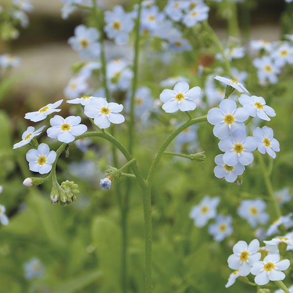 Những hình ảnh hoa lưu ly đẹp