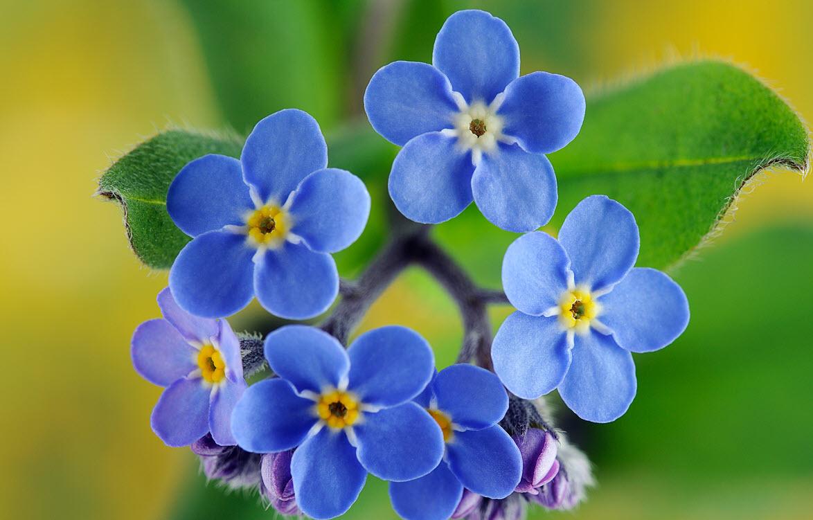 Những hình ảnh hoa lưu ly