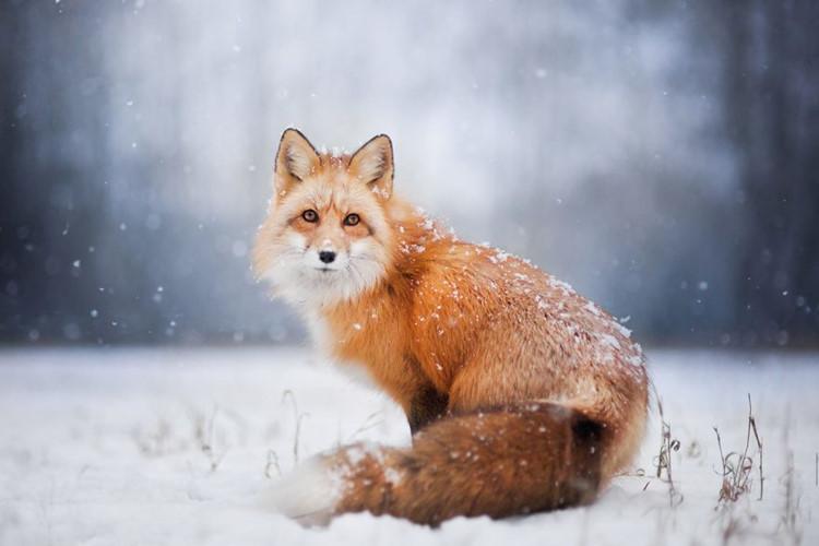 Ảnh con cáo cực đẹp