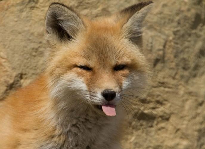 Ảnh con cáo đáng yêu