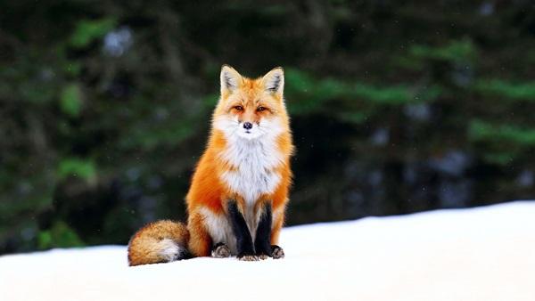 Ảnh con cáo dễ thương