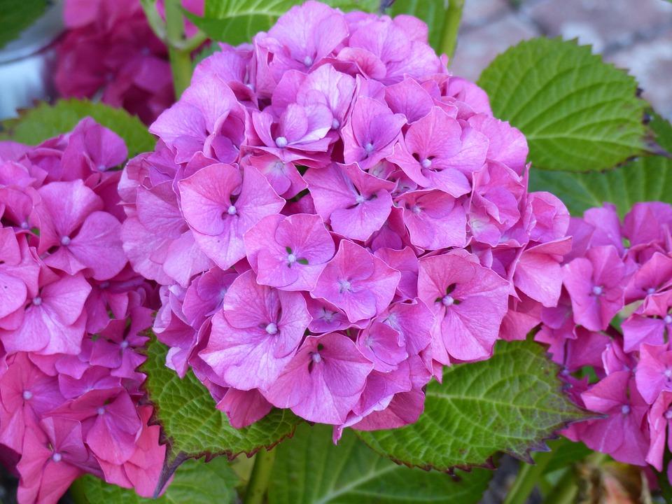 Ảnh hoa Cẩm Tú Cầu cực đẹp