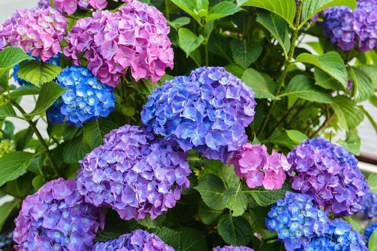 Ảnh hoa Cẩm Tú Cầu đẹp