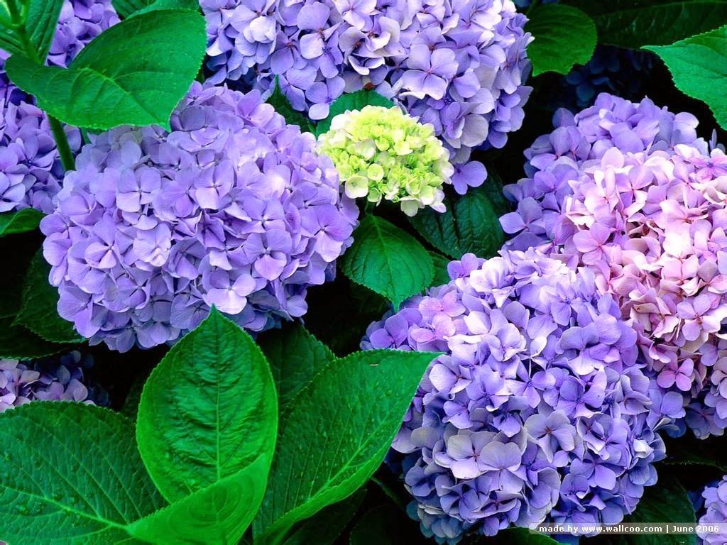 Ảnh hoa Cẩm Tú Cầu