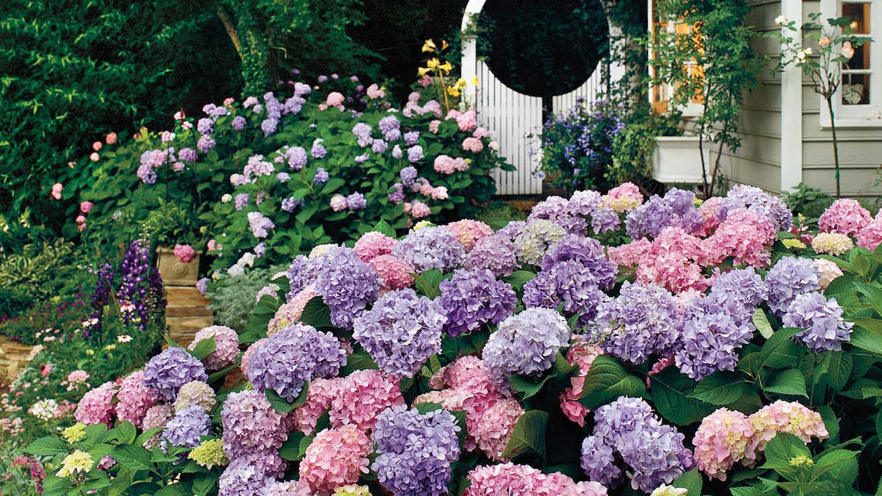 Ảnh vườn hoa Cẩm Tú Cầu đẹp