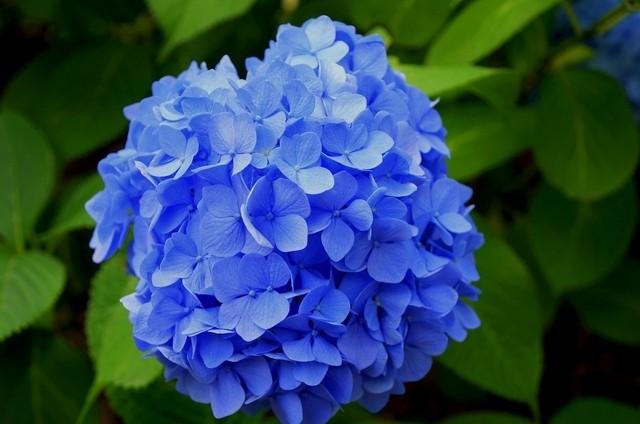 Bông Cẩm Tú Cầu xanh đẹp
