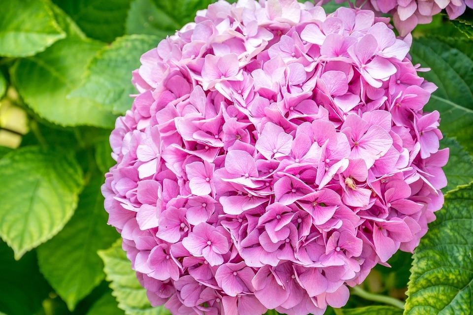 Bông hoa Cẩm Tú Cầu cực đẹp