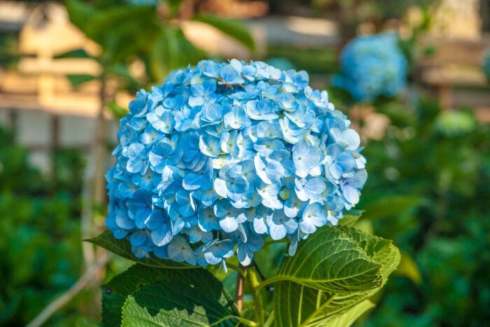 Bông hoa Cẩm Tú Cầu màu xanh đẹp