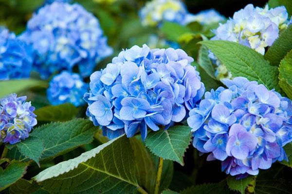 Cẩm Tú Cầu hoa đẹp