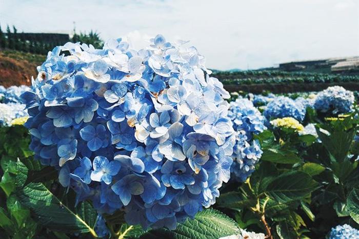 Cánh đồng hoa Cẩm Tú Cầu cực đẹp