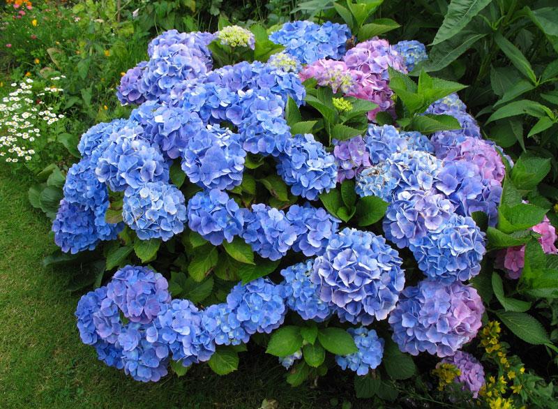 Cây hoa Cẩm Tú Cầu đẹp
