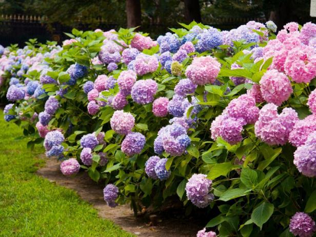Hàng rào hoa Cẩm Tú Cầu
