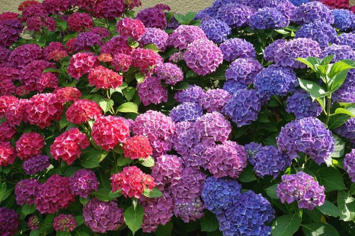 Hình ảnh các loại hoa Cẩm Tú Cầu đẹp