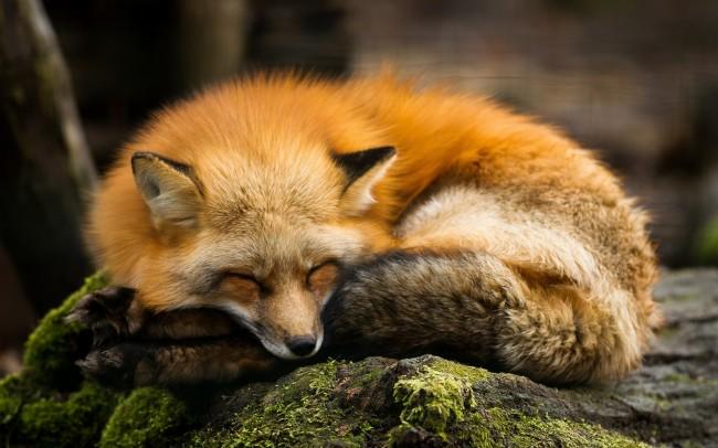Hình ảnh con cáo (2)