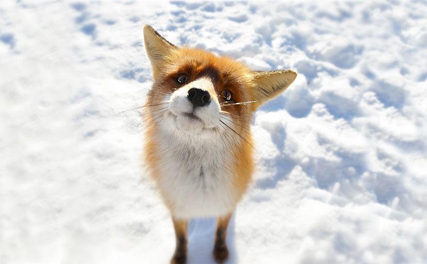 Hình ảnh con cáo đáng yêu