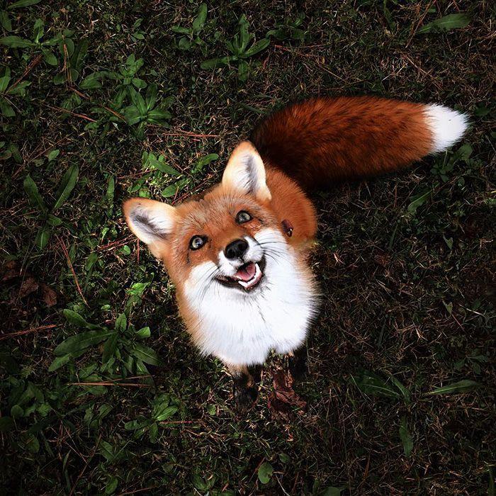 Hình ảnh con cáo dễ thương, đáng yêu nhất