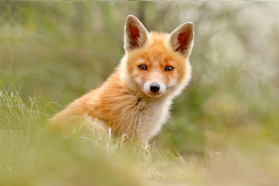 Hình ảnh con cáo dễ thương nhất thế giới