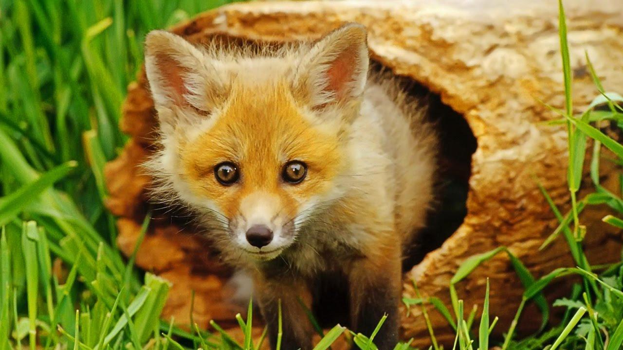 Hình ảnh con cáo dễ thương