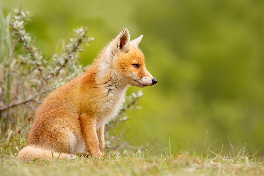 Hình ảnh con cáo đẹp và dễ thương nhất